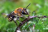 Honey bee (Apis mellifera), Illfurth, Haut-Rhin, Alsace, France