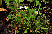 Flûteau fausse-renoncule (Baldellia ranunculoides) fleurs, Guidel, Morbihan, Bretagne, France