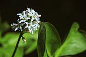Buck-bean (Menyanthes trifoliata) flowers, Illfurth, Haut-Rhin, Alsace, France