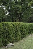 Bamboo hedge