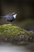 White-throated Dipper (Cinclus cinclus) at the edge of a river, Canton Vaud, Switzerland.