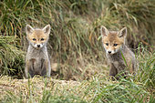 Renard roux (Vulpes vulpes), renardeaux au terrier, campagne vaudoise, Canton de Vaud. ©Olivier Born