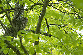Tawny Owl (Strix aluco) on a branch, Vaud countryside, Canton of Vaud, Switzerland