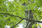 Tawny Owl (Strix aluco) young on a branch, Vaud countryside, Canton of Vaud, Switzerland