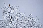 Kestrel (Falco tinnunculus) on a tree with snow, Canton Vaud, Switzerland.
