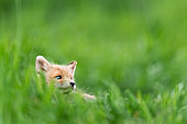 Red fox (Vulpes vulpes) youngs playing, Slovakia