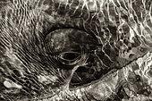 Gray whale (Eshcrichtius robustus) Eye of a whale BCS Mexico