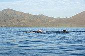 Gray whale (Eschrichtius robustus) Mating gray whales Canal de Rehusa, BCS Mexico.