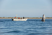 Gray whale (Eschrichtius robustus) Tourist boat with gray whales. BCS Mexico.