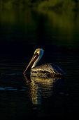 Brown pelican (Pelicanus occidentalis) BCS Mexico.