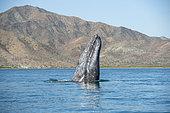 Gray whale (Eschrichtius robustus) Spyhopping, Canal de Rehusa, BCS, Mexico.