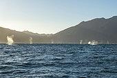 Gray whale (Eschrichtius robustus) Gray whale blows in Canal de Rehusa BCS Mexico.