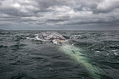 Gray whale (Eschrichtius robustus) Gray whales approach the photographers boat. BCS Mexico.