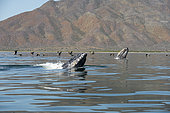 Gray whale (Eschrichtius robustus) Spyhopping, BCS Mexico.