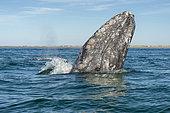 Gray whale (Eschrichtius robusuts) Spyhopping, BCS Mexico.
