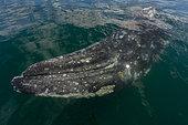 Gray whale (Eschrichtius robusuts) under the surface,BCS Mexico.