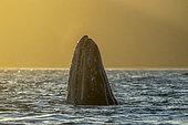 Gray whale (Eschrichtius robustus) Spyhopping at sunset, Canal de Rehusa, BCS, Mexico.