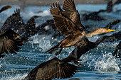 Double crested cormorant (Phalacrocorax auritus) flying away, BCS Mexico