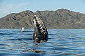Gray whale (Eschrichtius robusuts) Spyhopping, BCS, Mexico.
