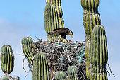 Caracara du Nord (Caracara cheriway) au nourrissage, nichant dans un cactus cardon. Isla Sta Margarita BCS Mexique
