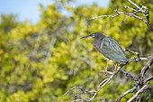 Green heron (Butorides virescens) on a branch, BCS Mexico