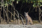 Lynx (Lynx rufus) Lynx in mnagroves in channels near San Carlos BCS Mexico