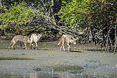 Coyote (Canis latrans) Coyotes in mangroves Santo Domingo Channel BCS Mexico