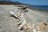 Gray whale (Eschrichtius robustus) Gray whale skeleton Isla Sta Magrgarita BCS Mexico