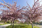 Prunus serrulata 'Shogetsu', Parc Floral Vincennes, Paris, France