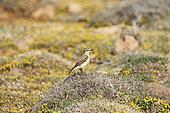 Traquet isabelle (Oenanthe isabellina) sur un dune fleurie du bord de mer, Chypre