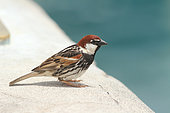 Spanish sparrow (Passer hispaniolensis) male on the edge of a pool, Lanzarote, Canary Islands