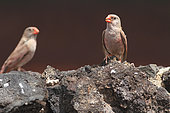 Trumpeter Finch (Bucanetes githagineus) males on a lava rock, Lanzarote, Canary Islands