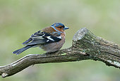 Chaffinch (Fringilla coelebs) perched on a branch, England