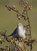 Cuckoo (Cuculus canorus) perched amongst crabapple blossom (Mallus)