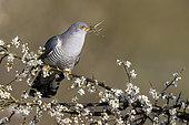 Cuckoo (Cuculus canorus) percherd amongst blackthorn, England
