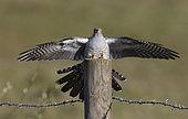 Cuckoo (Cuculus canorus) landing on a post, England