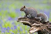 Grey squirrel (Sciurus carolinensis) amongst bluebell (Hyacinthoides non-scripta), England