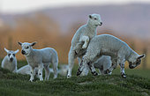Sheep ( Ovis aries) running in a meadow