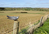 Cuckoo (Cuculus canorus) perched on a fence post in the British countryside