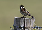 Reed bunting (Emberiza schoeniclus) perched on a post, England