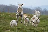 Sheep (Ovis aries) srunning in a meadow, England