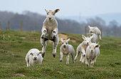 Mouton (Ovis aries) agneaux courant dans une prairie, Angleterre