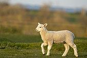 Mouton (Ovis aries) agneau courant dans une prairie, Angleterre