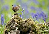 wren (Troglodytes troglodytes) perched on a log amongst bluebell, England