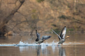 Greylag goose (Anser anser) chasing each other on water, Alsace, France