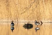 Greylag goose (Anser anser) on a pond in the morning sun, Alsace, France