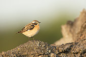 Whinchat (Saxicola rubetra) male on a trunk, Alsace, France