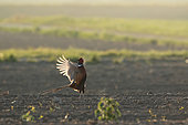Ring-necked Pheasant (Phasianus colchicus), displaying at dawn, Alsace, France