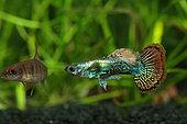 Guppy mosaic (Poecilia reticulata) male in aquarium