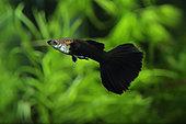 Black Guppy (Poecilia reticulata) male in aquarium
